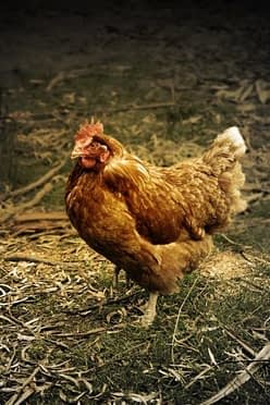 élevage poule pondeuse